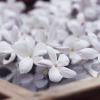 jasmine enfleurage 2