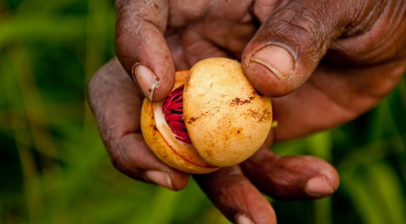 Nutmeg is Grenada's main export product. This nutmeg is newly picked from the tree by a native Grenadian during a rain forest hike.